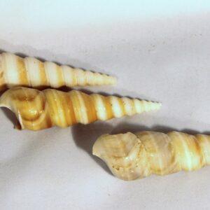 Spire/ Mullusc Shell