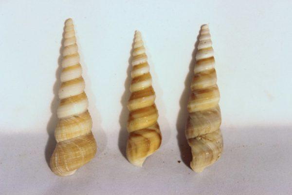 Seashell Spire Mollusc Shell 2-4 inch