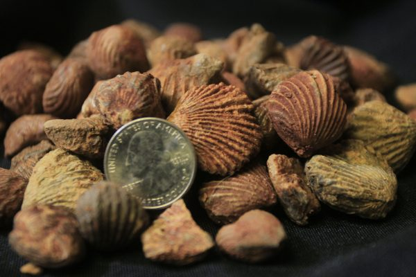 Fossilized Clams with quarter for size comparison