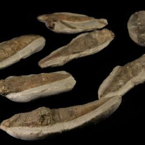 Fossilized Fish (Rare)