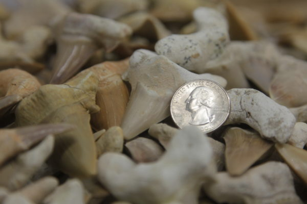 Large Shark Teeth with dime to show size