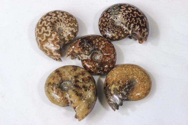 Several Agatized Ammonite Fossils