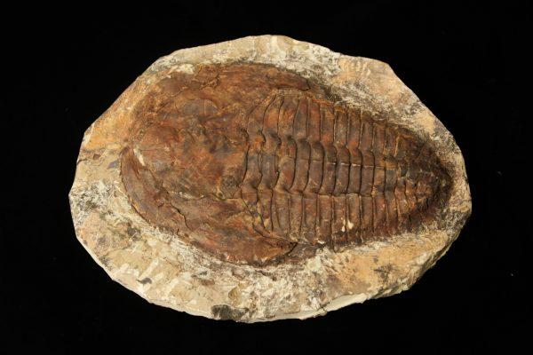Cambropallas Large Trilobite Fossil