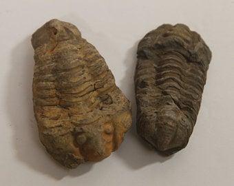Set of two Calymene Trilobite fossils