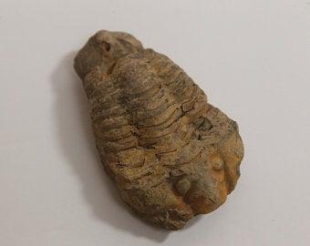 Calymene Trilobite fossil