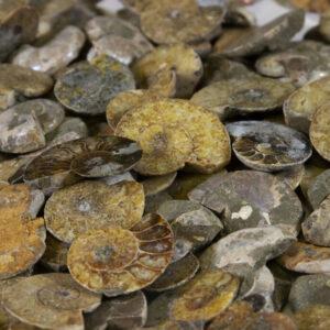 Cabochon Ammonite - Five Pack